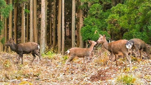 大江山の鹿(2)