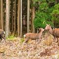 Photos: 大江山の鹿(2)