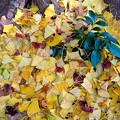 Photos: イチョウの絨毯