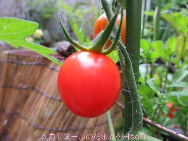 天使のトマト~ミニトマト