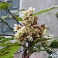 Photos: 枇杷の花