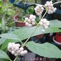 Photos: 紫式部~白