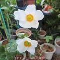 Photos: 秋明菊