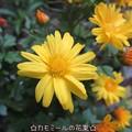 Photos: ばば様の小菊