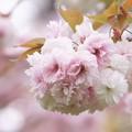 八重桜のアート