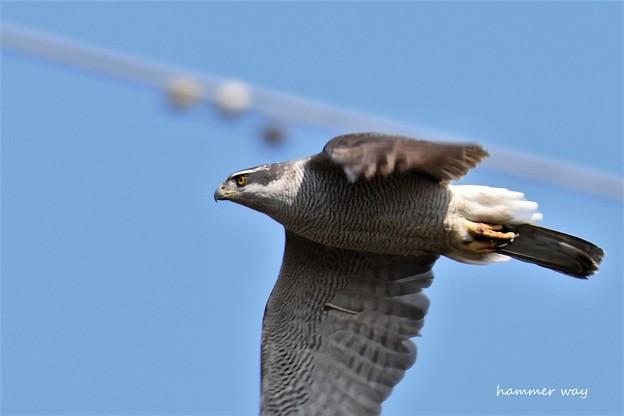 オスの飛翔2