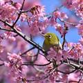 早春桜とメジロ