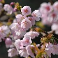 ど根性桜、安行寒緋