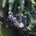 写真: 3羽鷹