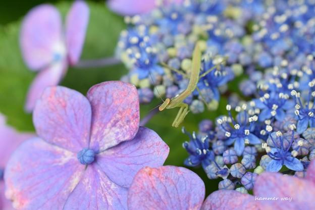 紫陽花とオオカマキリ