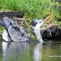写真: アオサギの水浴び
