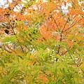 カイノキの紅葉