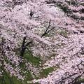 Photos: 桜と雪・千鳥ヶ淵にて