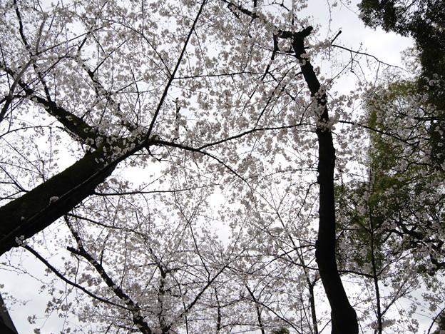 Photos: 2019年桜2