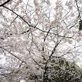 Photos: 2019年 桜3