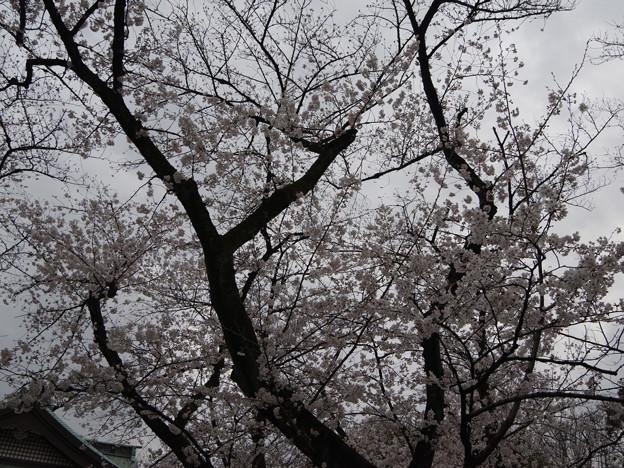 2019年桜5