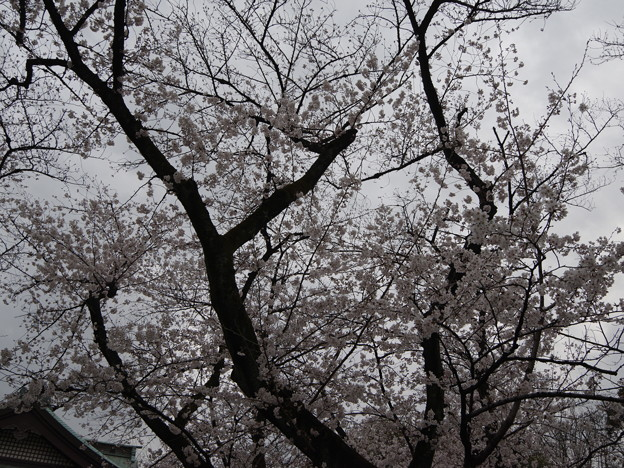 Photos: 2019年桜5