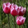 写真: 鴻巣 花のオアシス 170423 03