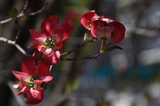 我がマンションの花々180408 01