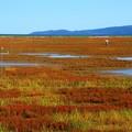写真: 能取湖サンゴ草群生地 161002 03
