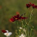 写真: さきたま古墳公園のコスモス 181009 02