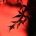 写真: 赤城神社の紅葉 181030 01