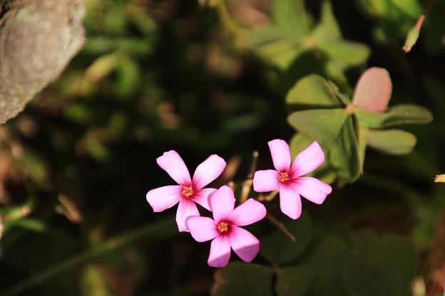 御近所で見た花 181103 01