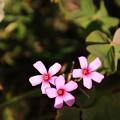 写真: 御近所で見た花 181103 01