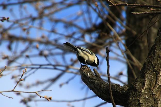 さきたま緑道の野鳥 180322 08