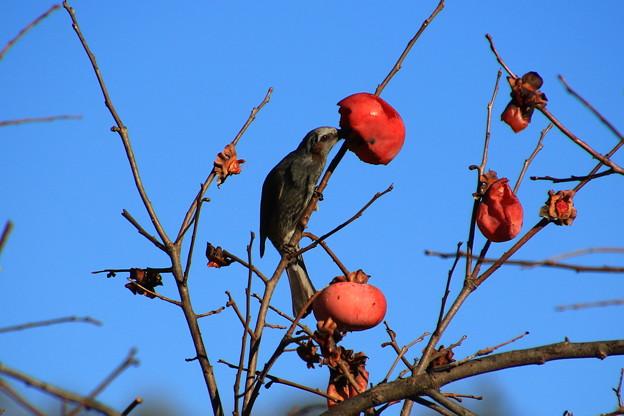 御近所の野鳥 181224 01