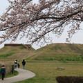 Photos: さきたま古墳公園の桜(見頃6日前?) 190329 03