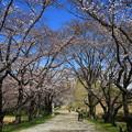 さきたま古墳公園の桜(見頃4日前?) 190401 01