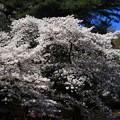 Photos: 岩槻城址公園 190402 06