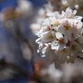 Photos: 岩槻城址公園の桜 190402 02