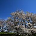 Photos: 吉見町さくら堤公園 190405 05