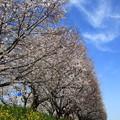 Photos: 吉見町さくら堤公園 190405 06