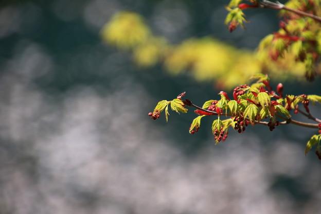 鎌北湖の花 190416 03