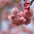 忍野八海の花 190423 02