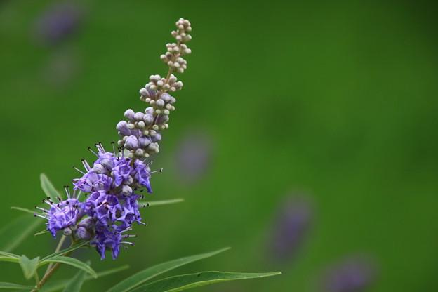 古代蓮の里の花 190708 02