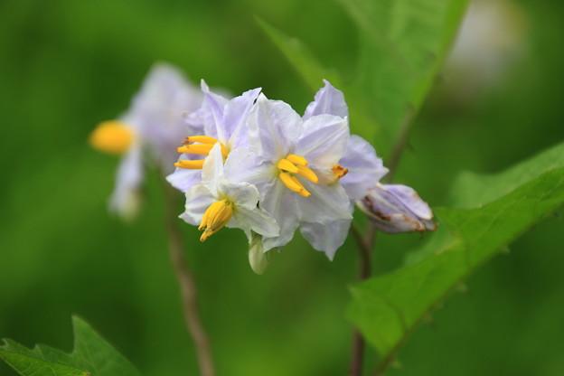 古代蓮の里の花 190708 04