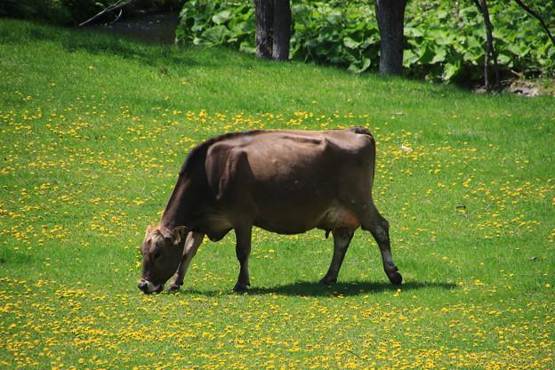 足寄の乳牛牧場 190519 03