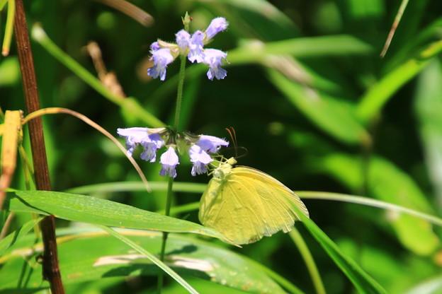 武蔵丘陵森林公園のチョウ 190807 01
