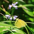 Photos: 武蔵丘陵森林公園のチョウ 190807 01