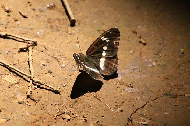 武蔵丘陵森林公園のチョウ 190807 03
