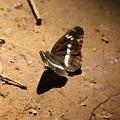 Photos: 武蔵丘陵森林公園のチョウ 190807 03