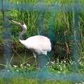 Photos: 丹頂鶴自然公園 190524 02