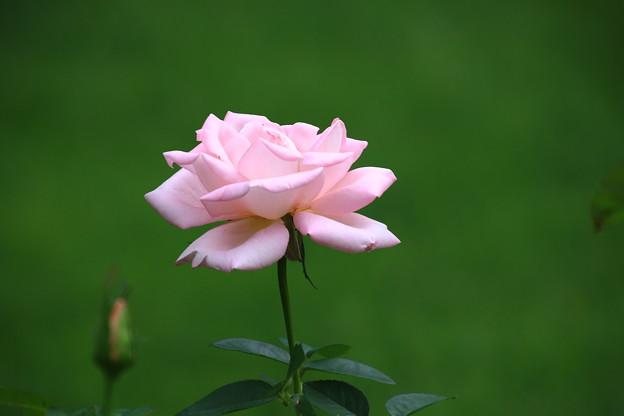 旧古河庭園のバラ 190928 01
