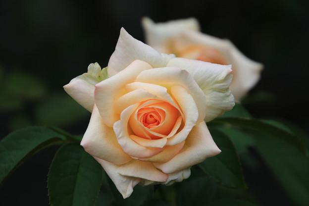 旧古河庭園のバラ 190928 02