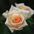 Photos: 旧古河庭園のバラ 190928 02