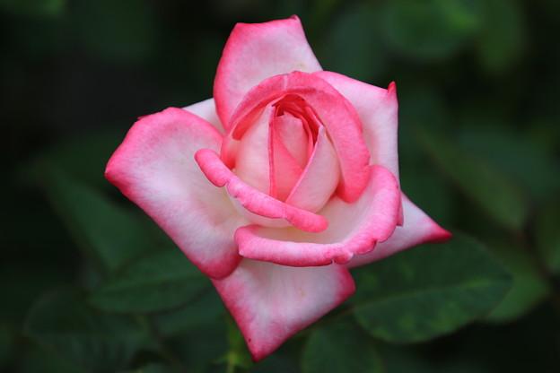 旧古河庭園のバラ 190928 03